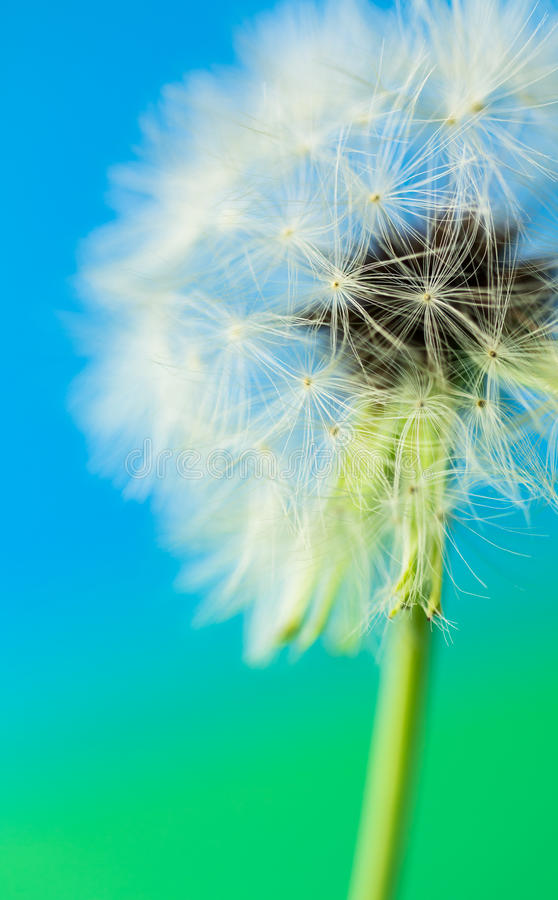 Goatsbeard seed head. Close up of seedhead of Goat'sbeard, against blue and green background royalty free stock images