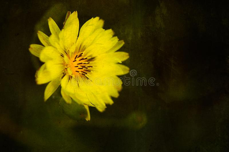 Goatsbeard, tragopogon major, Yellow Flower stock photo