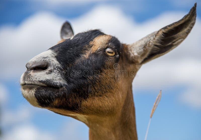 Goattitude foto de stock royalty free