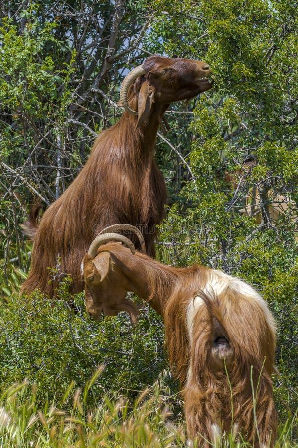 Goatws op groene de zomerweide stock foto's