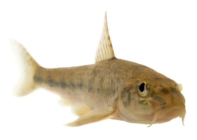 Gobião (peixe) - isolado imagens de stock