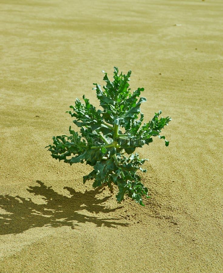 Gobi Desert Green Plant. Mongolian Altai, mongolia stock photography
