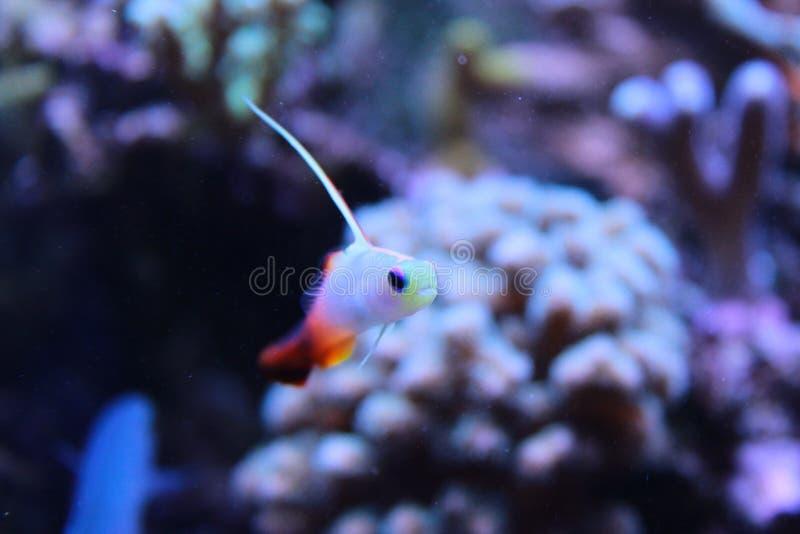 Gobie de poissons du feu dans le réservoir marin d'aquarium photos libres de droits