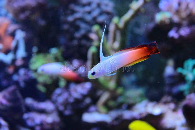 Gobie de poissons du feu dans le réservoir marin d'aquarium image stock