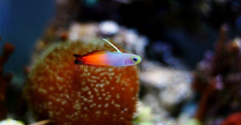 Gobio de Firefish - Nemateleotris Magnifica imagen de archivo libre de regalías