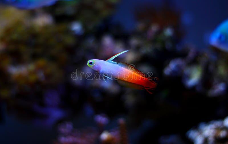 Gobio de Firefish - Nemateleotris Magnifica fotografía de archivo