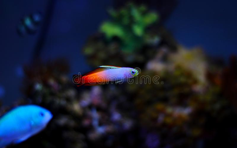 Gobio de Firefish - Nemateleotris Magnifica imagenes de archivo