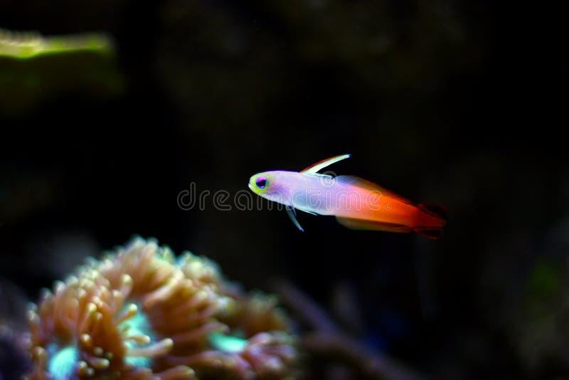 Gobio de Firefish - Nemateleotris Magnifica imágenes de archivo libres de regalías