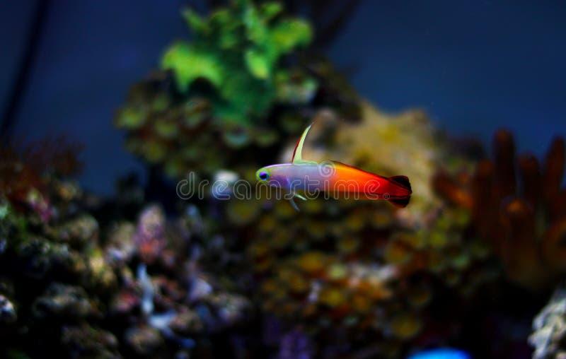 Gobio de Firefish - Nemateleotris Magnifica fotos de archivo libres de regalías