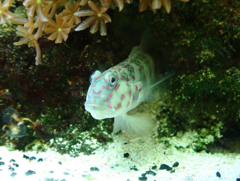 Gobio del camarón de Singapur foto de archivo