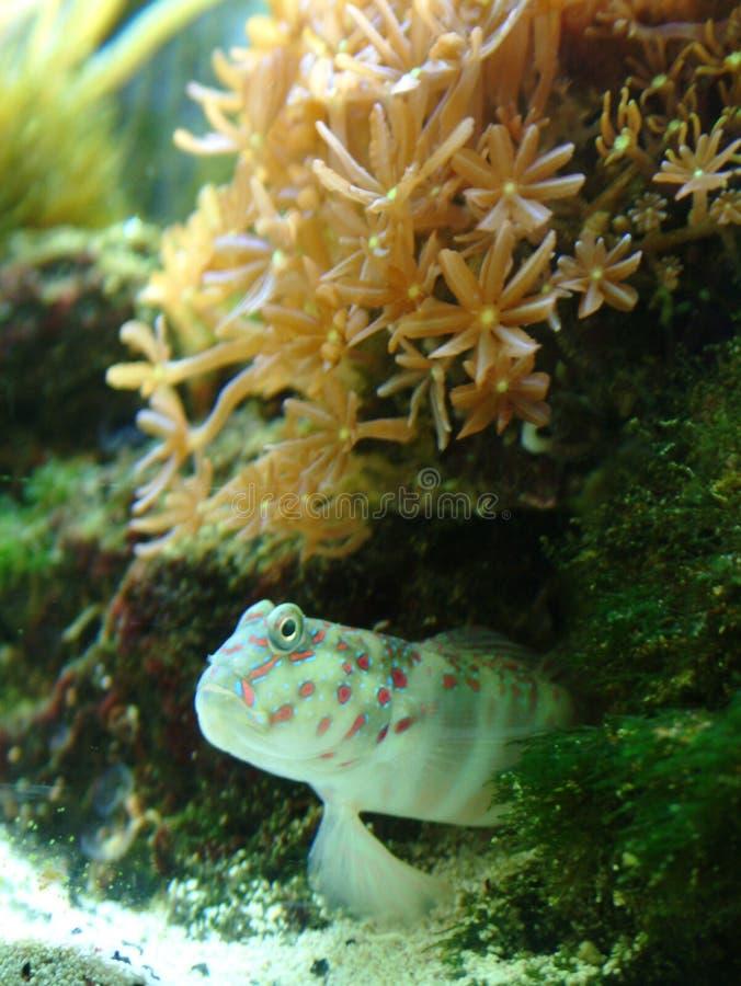 Gobio del camarón de Singapur alto fotos de archivo