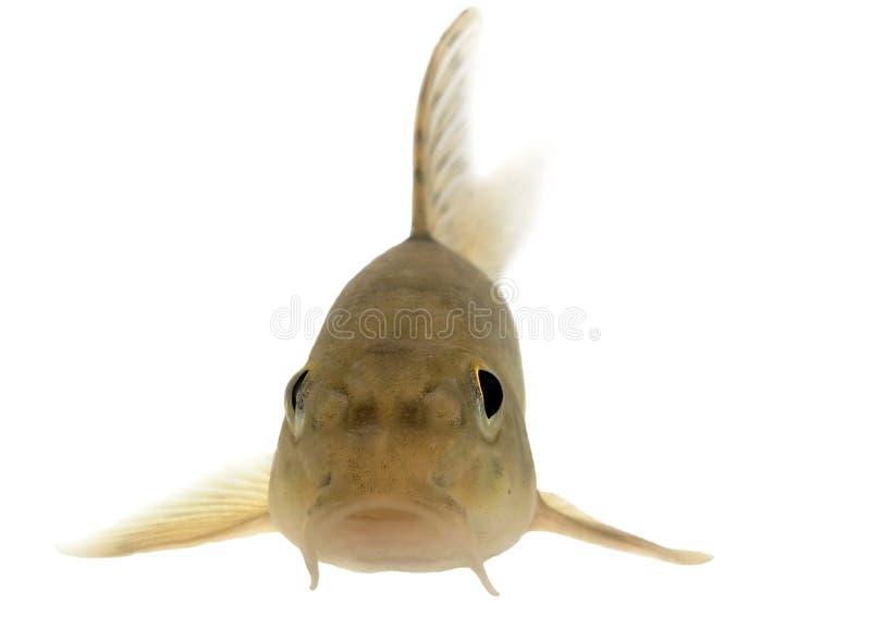 Gobione (pesce) - isolato immagini stock libere da diritti