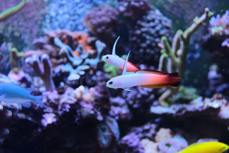 Goby van brandvissen in mariene aquariumtank stock afbeeldingen