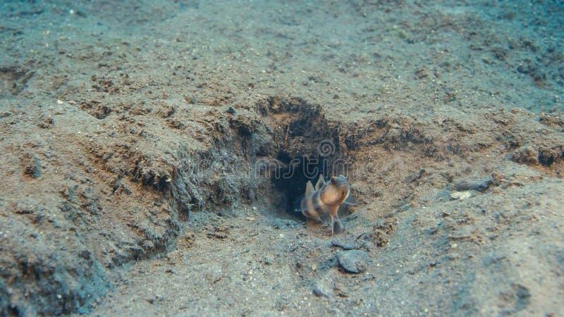 Goby van de vissen Slaperige Marmerdwarsbalk onderzees met garnalen stock foto