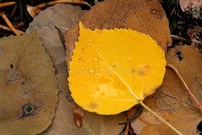 Gocce dell'acqua sul foglio giallo della tremula fotografia stock