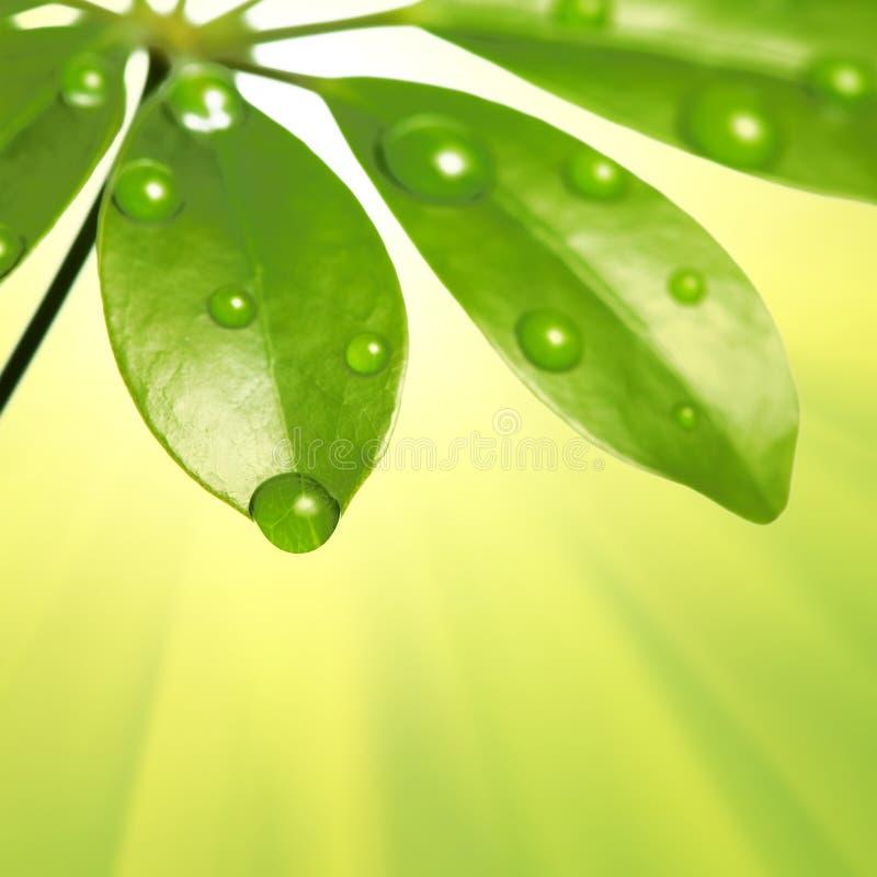 Gocce dell'acqua sul foglio verde fresco fotografia stock libera da diritti