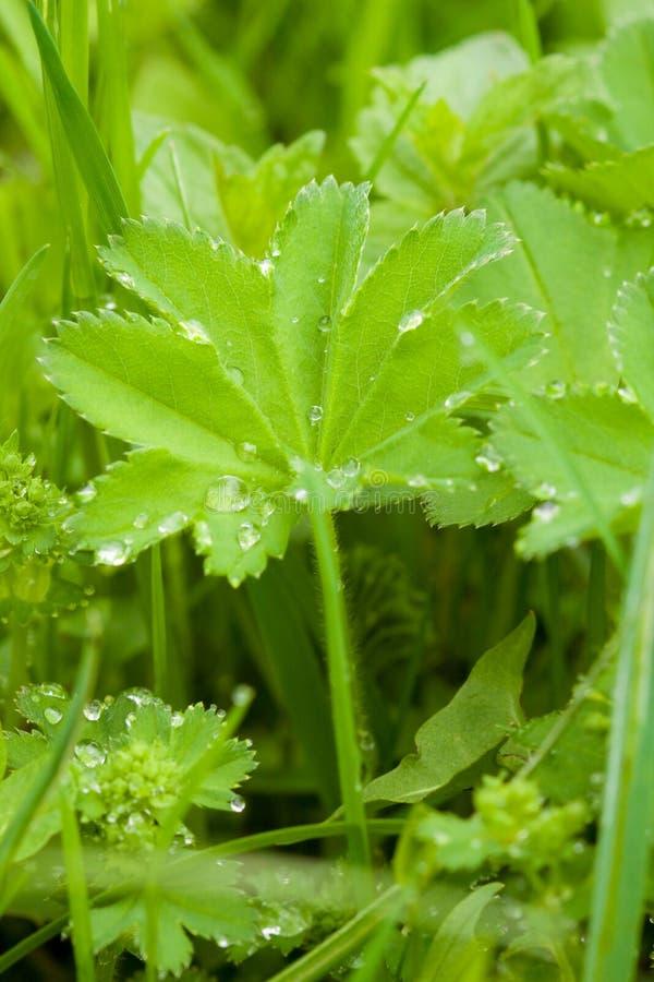 Gocce dell'acqua sulla pianta immagini stock libere da diritti