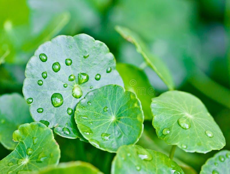 Gocce della pioggia sui fogli della pianta acquatica immagine stock