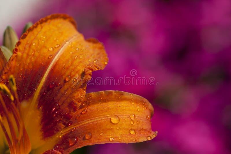 Gocce di acqua arancio di macro del fiore immagini stock