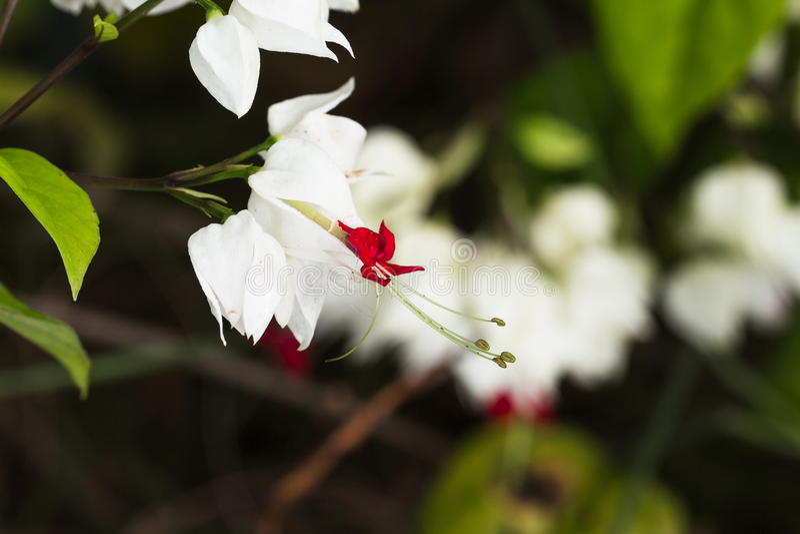 Gocce di acqua brillanti sulla fioritura della vite del cuore di emorragia fotografie stock