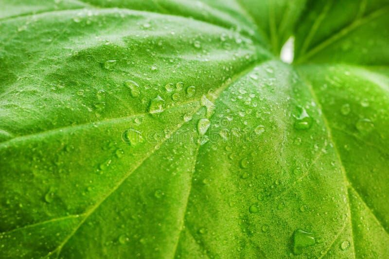 Gocce di acqua o rugiada su una grande foglia verde di un primo piano della pianta Strisce, arterie e la struttura della pianta a immagine stock