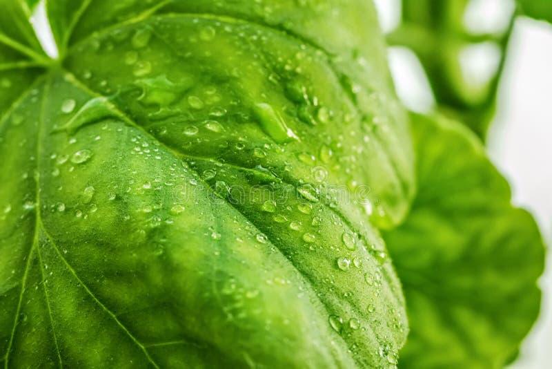Gocce di acqua o rugiada su una grande foglia verde di un primo piano della pianta Strisce, arterie e la struttura della pianta a fotografia stock
