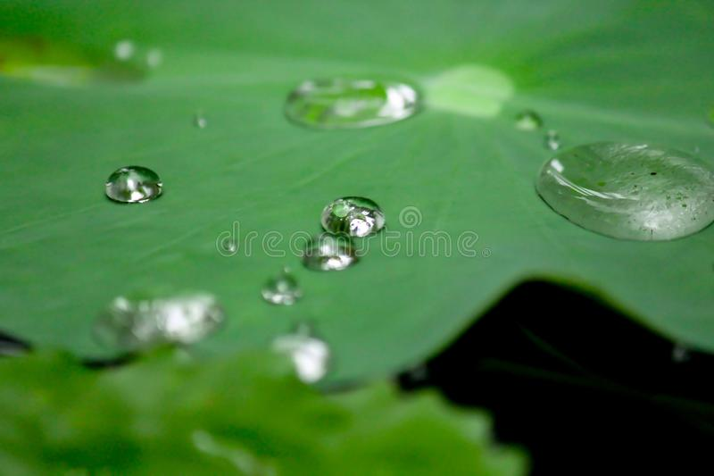 Gocce di acqua su un foglio del loto immagine stock