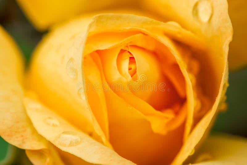 Gocce di acqua su una rosa gialla fotografia stock libera da diritti