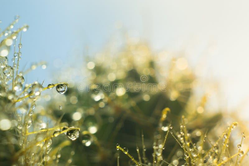 Gocce di acqua sugli aghi di un cactus fotografia stock libera da diritti