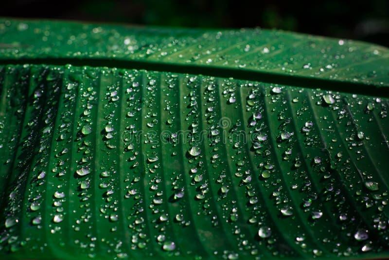 Gocce di acqua sul baground delle foglie verdi immagine stock libera da diritti
