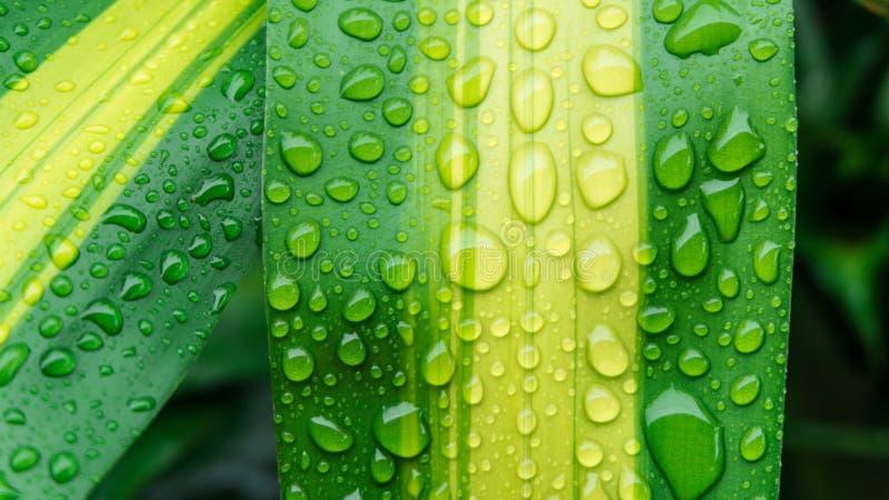 Gocce di acqua sulla foglia verde o sulla rugiada di rinfresco nella mattina fotografia stock