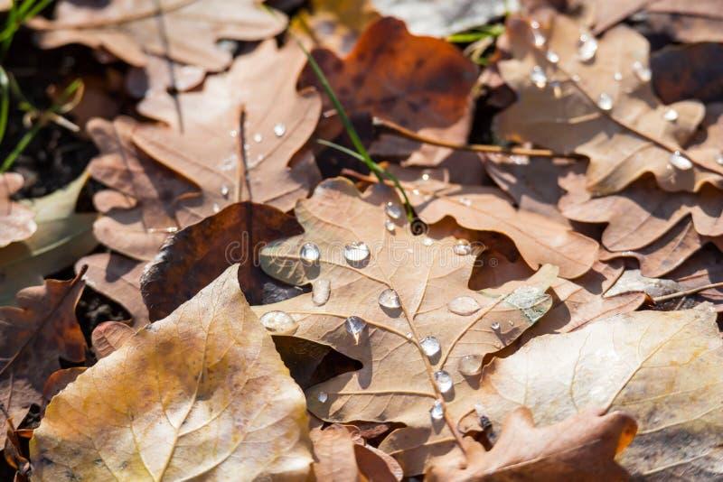 Gocce di acqua sulle foglie cadute della quercia Giorno di autunno Autunno dorato fotografia stock libera da diritti