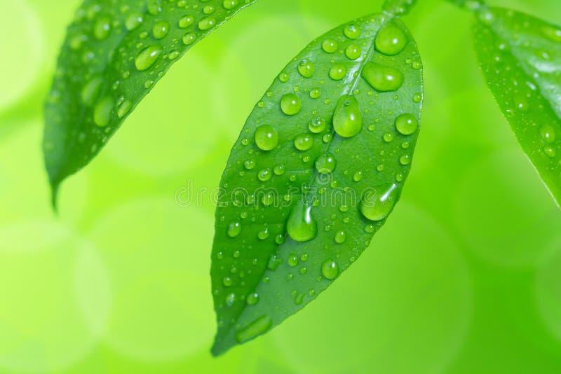 Gocce di acqua sulle foglie verdi fotografia stock libera da diritti