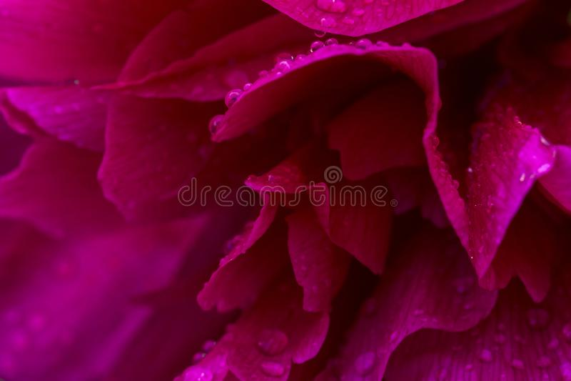 Gocce di pioggia brillanti rosa sul petalo della peonia Immagine artistica aerata delicata con il fuoco molle fotografia stock libera da diritti