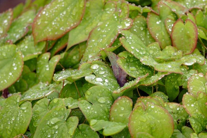 Gocce di pioggia del primo piano sul giardino interno di Kenrokuen delle foglie immagini stock libere da diritti