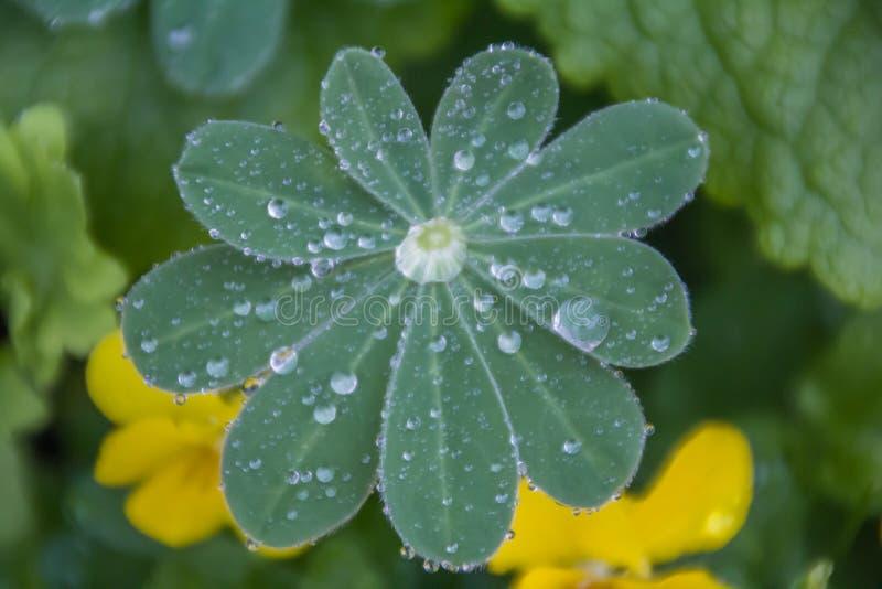 Gocce di pioggia in permesso fresco del lupino Fine in su Concetto della natura e della pioggia Natura, ambiente ed ecologia fotografie stock