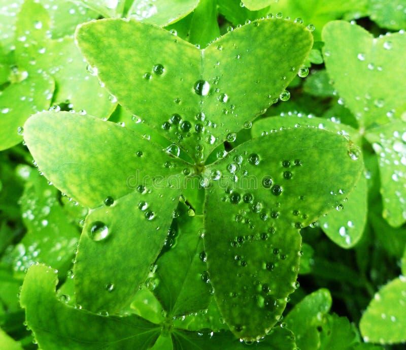 Gocce di pioggia su un trifoglio fotografia stock libera da diritti