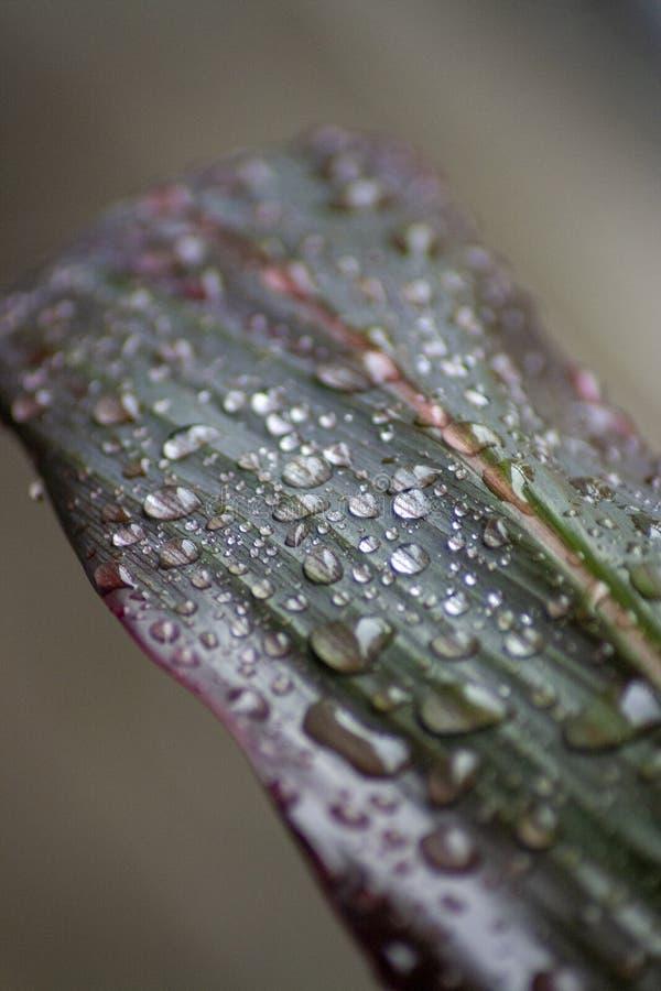 Gocce di pioggia su una foglia della pianta del Ti fotografie stock
