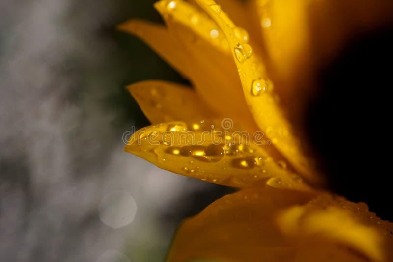 Gocce di pioggia sui girasoli fotografia stock