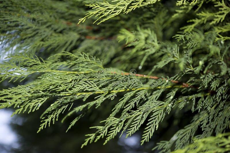 Gocce di pioggia sui rami di pino fotografie stock libere da diritti