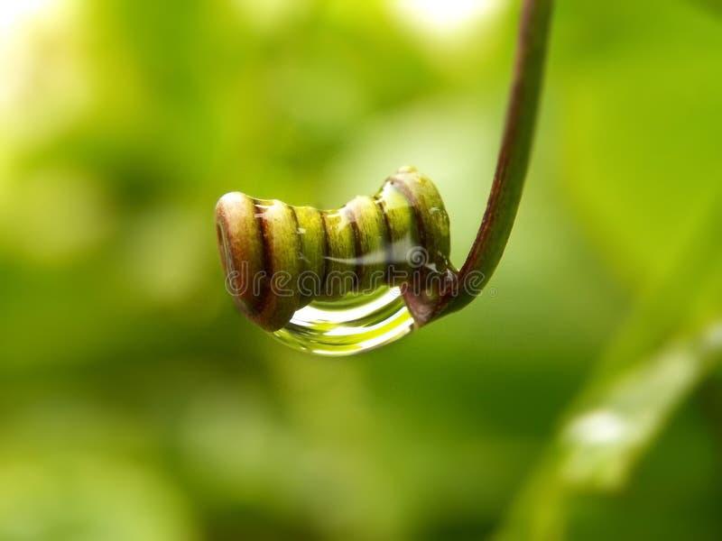 Gocce di pioggia sul viticcio acciambellato immagine stock libera da diritti