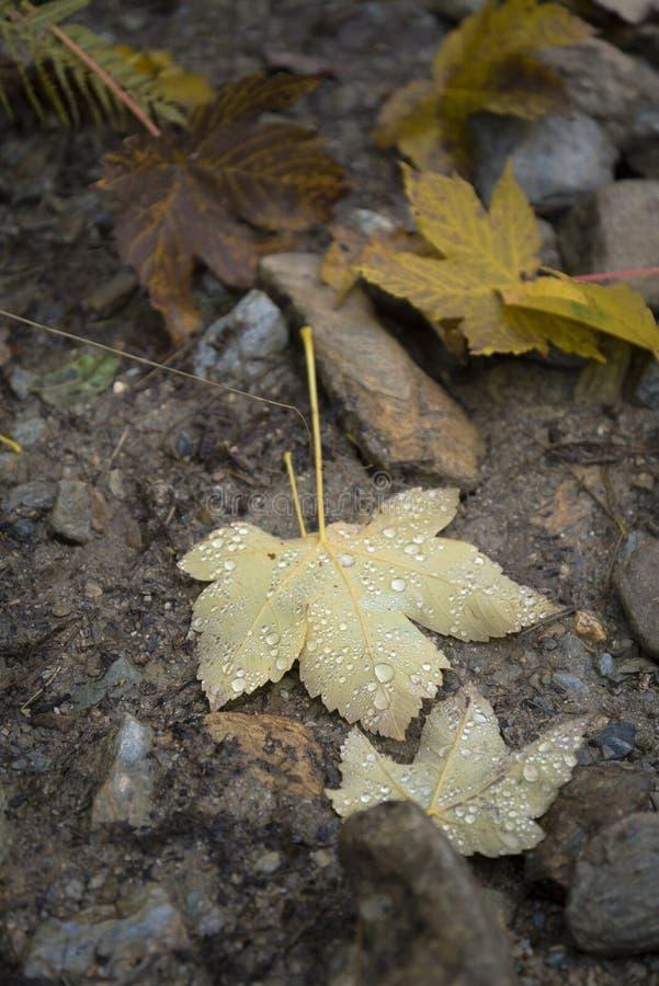 Gocce di pioggia sulla foglia caduta fotografia stock