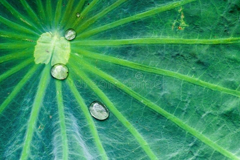 Gocce di pioggia sulla foglia del loto fotografia stock libera da diritti