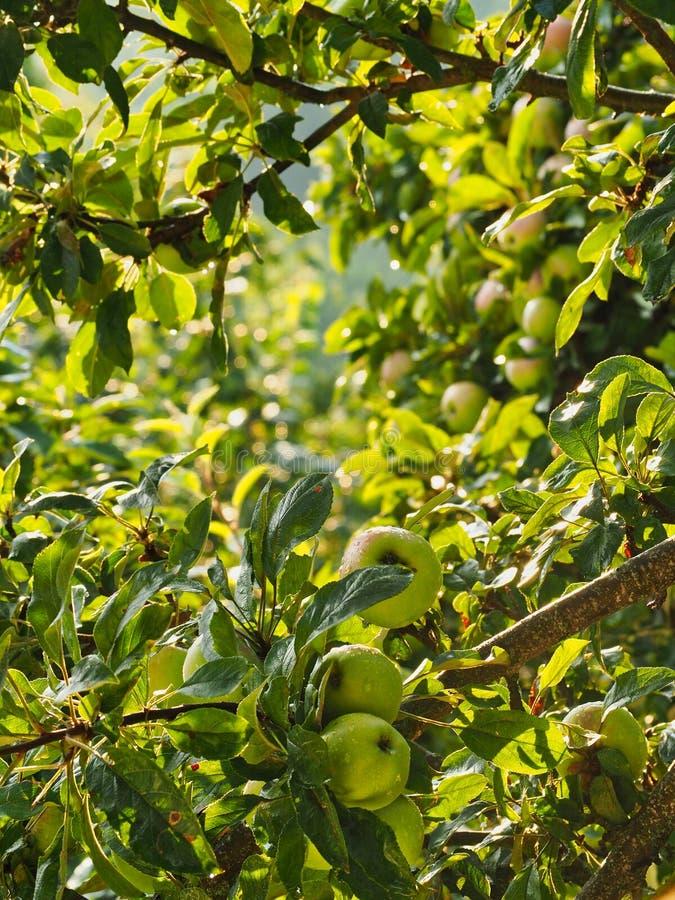 Gocce di pioggia sulle mele verdi sull'albero fotografie stock libere da diritti