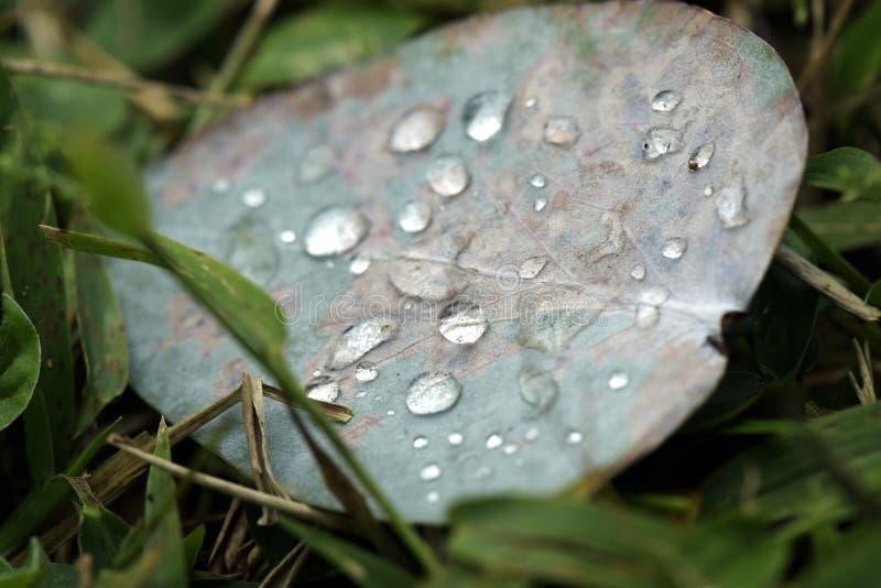 Gocce di rugiada della foglia dell'eucalyptus fotografie stock libere da diritti