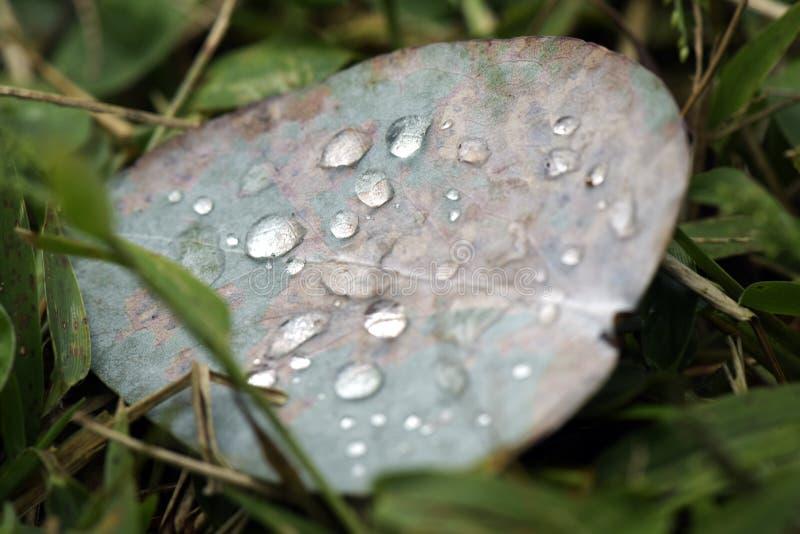 Gocce di rugiada della foglia dell'eucalyptus fotografia stock libera da diritti
