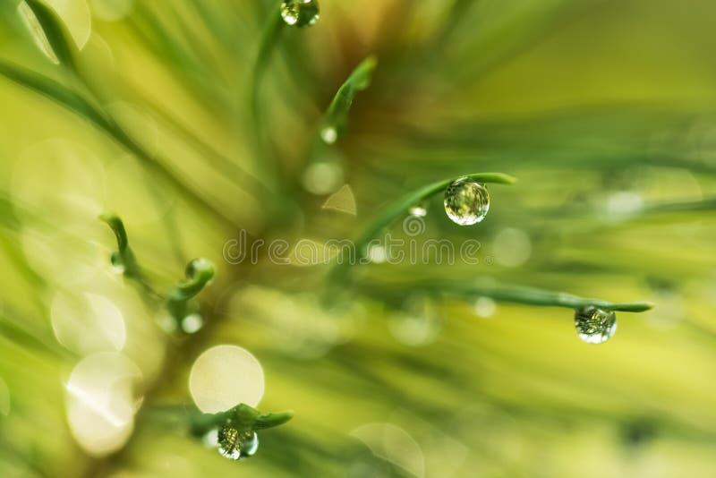 Gocce di rugiada e di acqua sugli aghi del pino su un bello fondo vago, macro immagini stock libere da diritti
