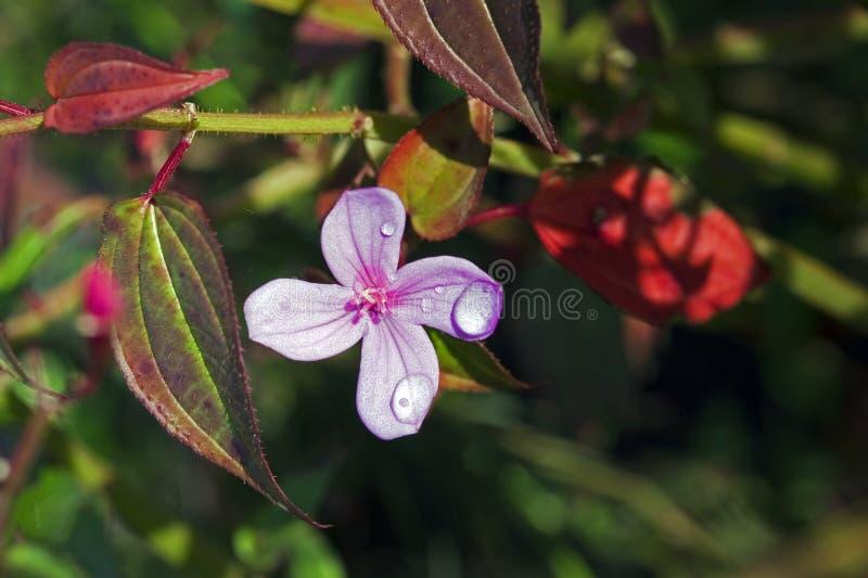 Gocce di rugiada fresche sul fiore rosa immagine stock libera da diritti