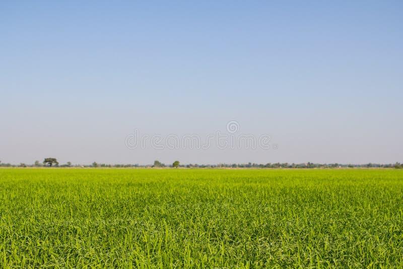 Gocce di rugiada su una pianta di riso verde di mattina immagini stock