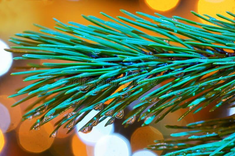 Gocce di rugiada sugli aghi del pino fotografie stock